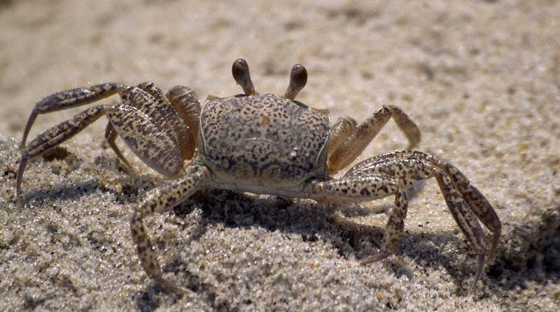 Descubierto el primer cangrejo que camina para adelante