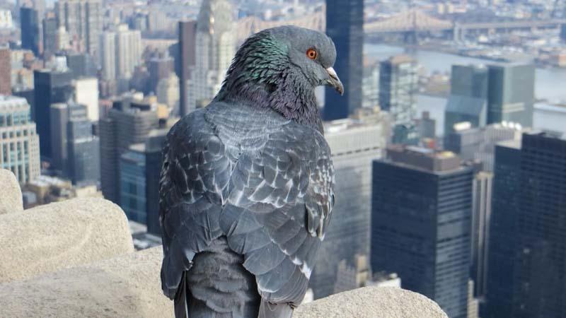 Millones de palomas sufren de estreñimiento al no tener personas sobre las que cagar