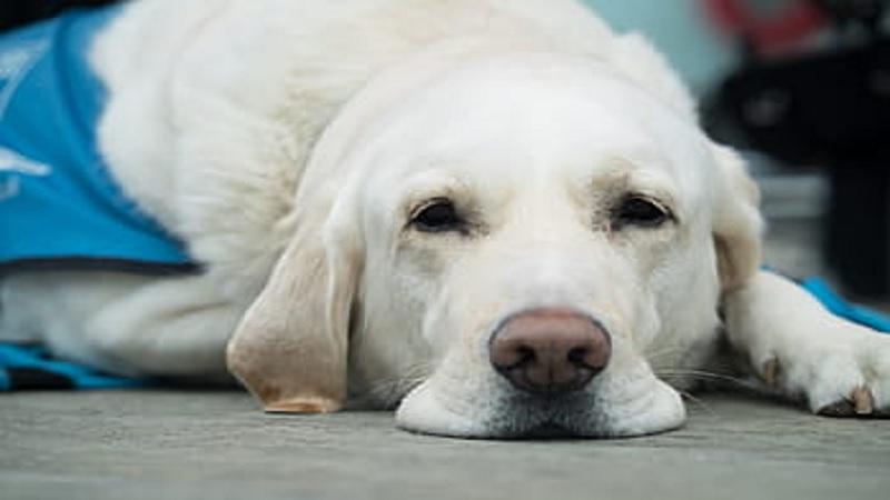 Un perro simula tener coronavirus para no salir más a la calle